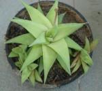 Haworthia sp. (X H. limifolia???)